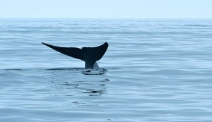 BlueWhale_fluke2_MB_cropped